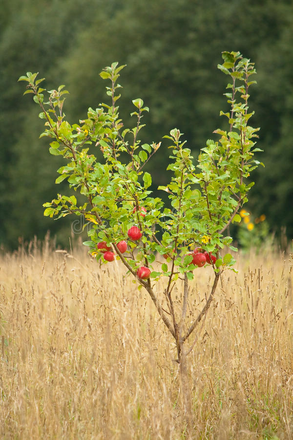 Reife Äpfel im Baum lizenzfreies stockbild