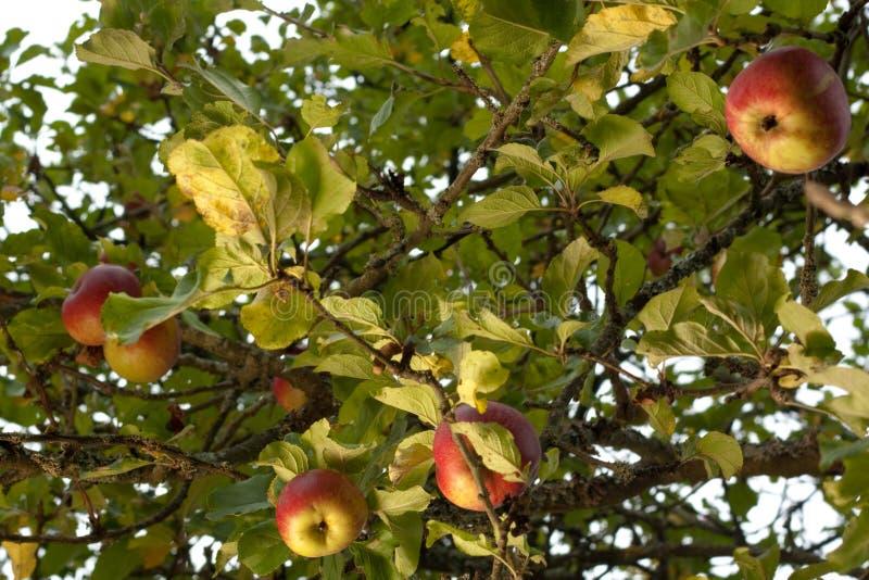 Reife Äpfel im Baum stockbilder
