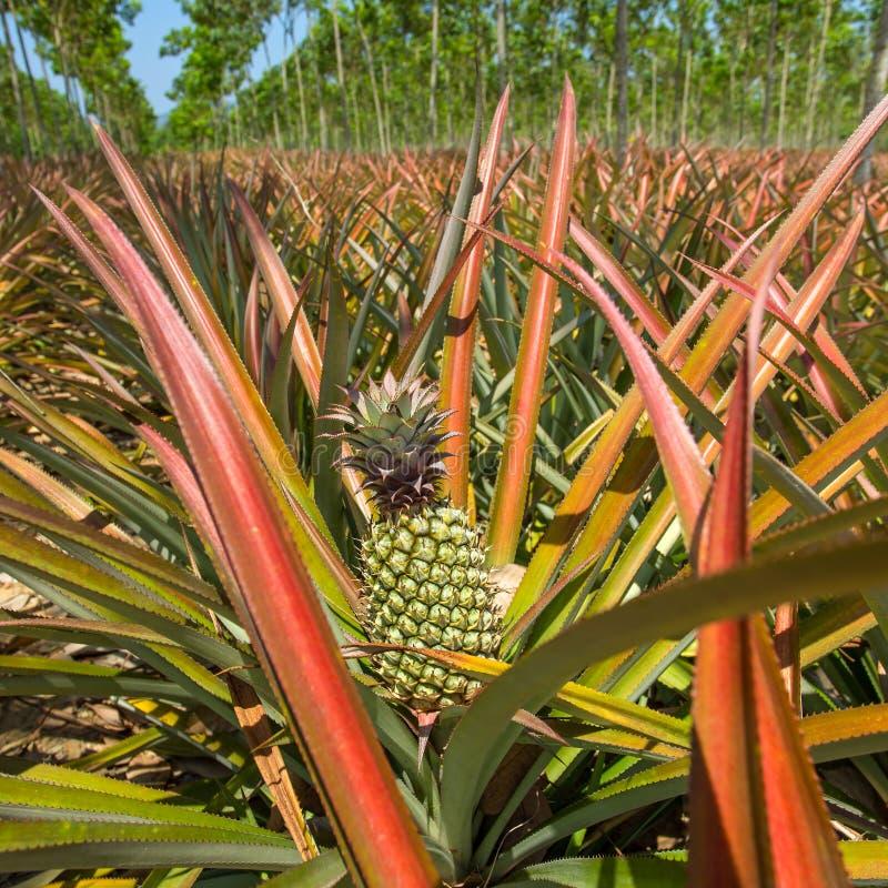 reife ananas die auf dem busch wachsen stockbild bild von organisch field 40304005. Black Bedroom Furniture Sets. Home Design Ideas