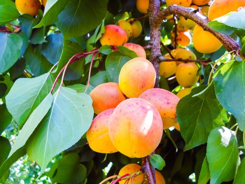Reife Aprikosen auf einem Obstbaum Feld des gr?nen Grases gegen einen blauen Himmel mit wispy wei?en Wolken Sommerernte stockfotos