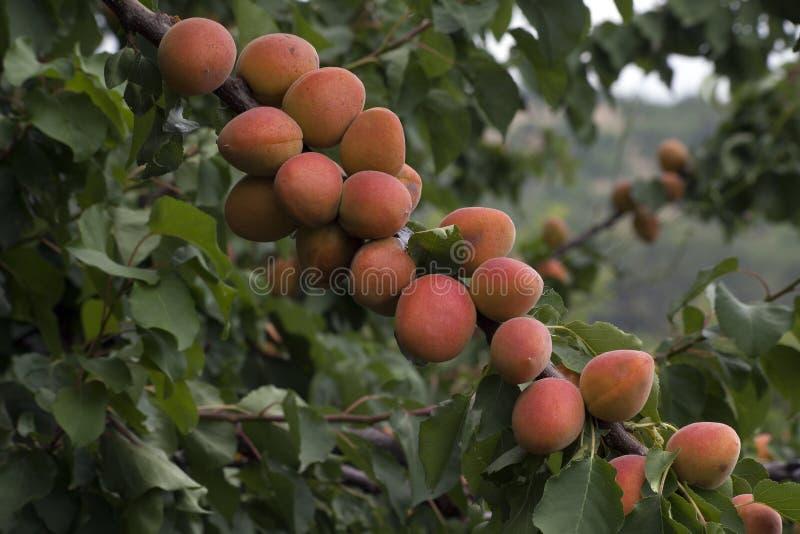 Reife Aprikosen, die auf dem Aprikosenbaum wachsen lizenzfreie stockfotografie