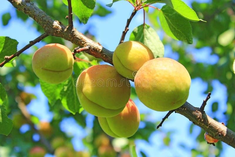 Reife Aprikosenfrüchte auf Niederlassung Fruchtwachsen auf Baum im Sommergarten stockbild