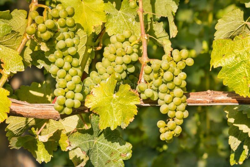 Reife B?ndel Sauvignon Blanc-Trauben, die auf Rebe im Weinberg wachsen lizenzfreie stockbilder
