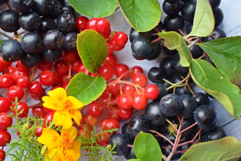 Reife Beeren des schwarzen Chokeberry und roter Viburnum stockbild