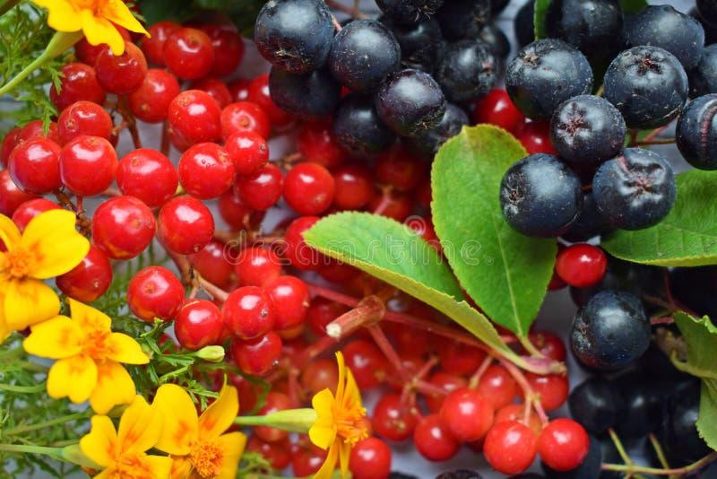 Reife Beeren des schwarzen Chokeberry und roter Viburnum stockfotografie