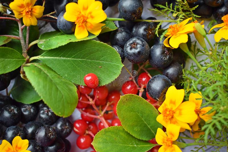 Reife Beeren des schwarzen Chokeberry und roter Viburnum lizenzfreies stockfoto