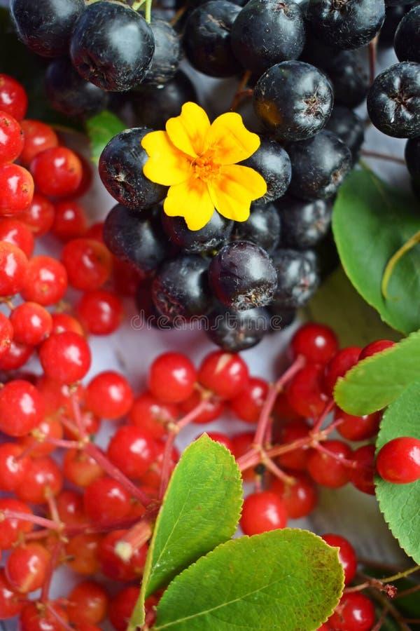 Reife Beeren des schwarzen Chokeberry und roter Viburnum stockbilder
