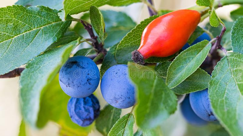Reife blaue Schlehen und rote Hüfte Prunus spinosa Rosa canina stockbilder