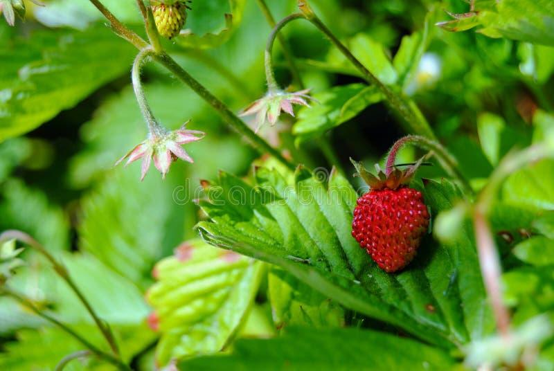 Reife Erdbeere in Großmutter ` s Garten lizenzfreies stockbild
