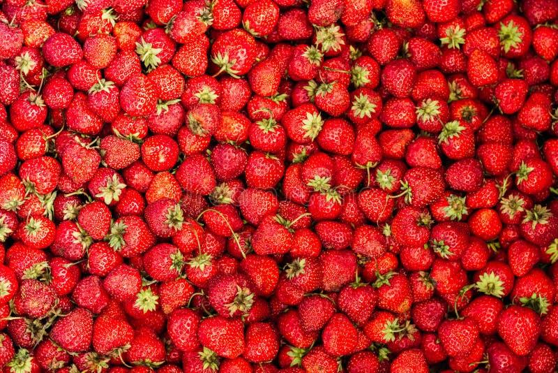 Reife Erdbeere im Garten stockbild