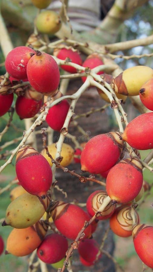 Reife Früchte der Manila-Palme stockfotografie