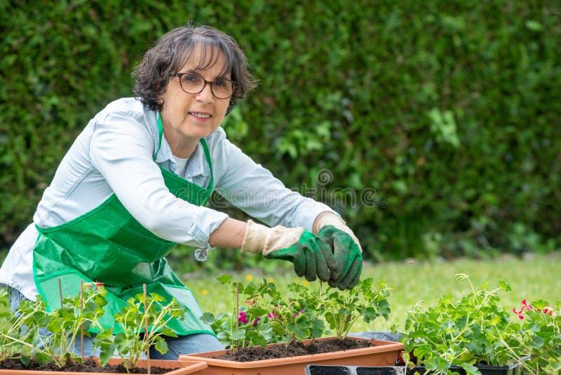 Reife Frau Potting-Pelargonienblumen stockfoto