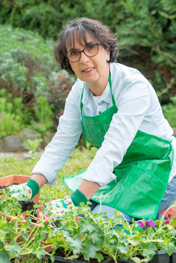 Reife Frau Potting-Pelargonienblumen lizenzfreies stockfoto