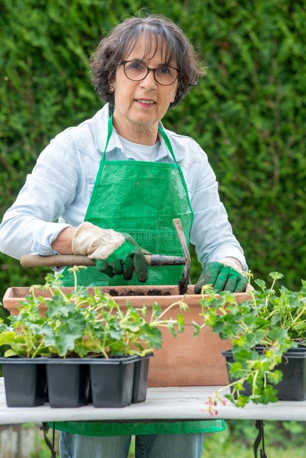 Reife Frau Potting-Pelargonienblumen lizenzfreies stockbild