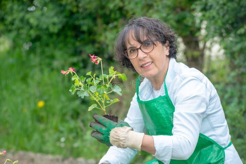 Reife Frau Potting-Pelargonienblumen lizenzfreie stockfotografie