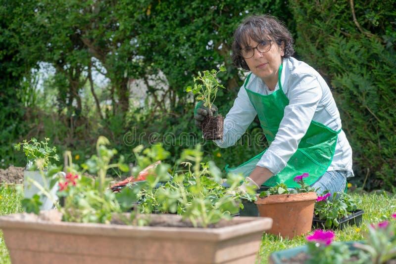 Reife Frau Potting-Pelargonienblumen stockfotografie