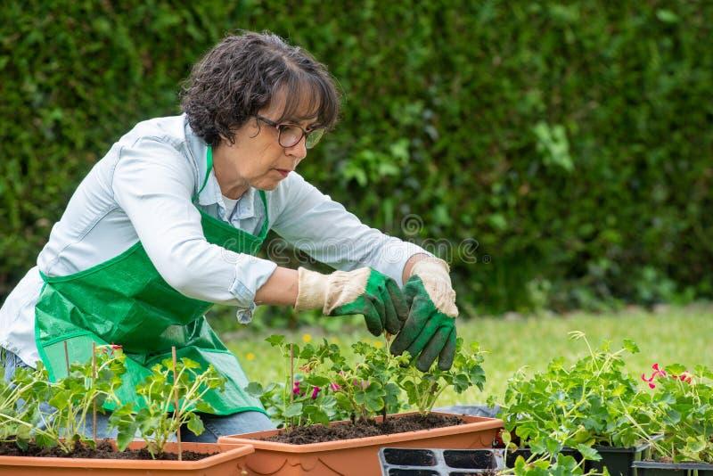 Reife Frau Potting-Pelargonienblumen stockbilder