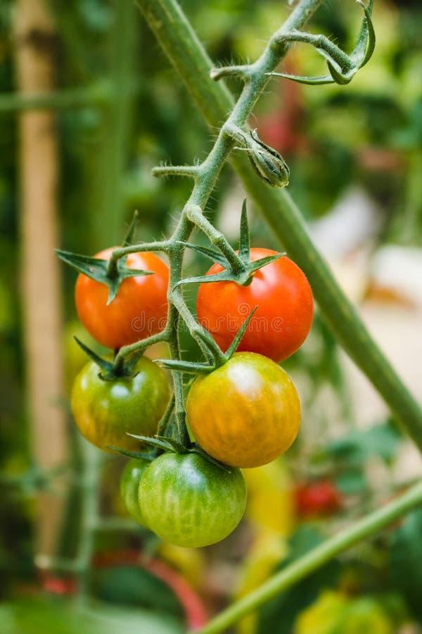 Reife frische Tomaten organische Tomaten, die auf einer Niederlassung wachsen stockfotos