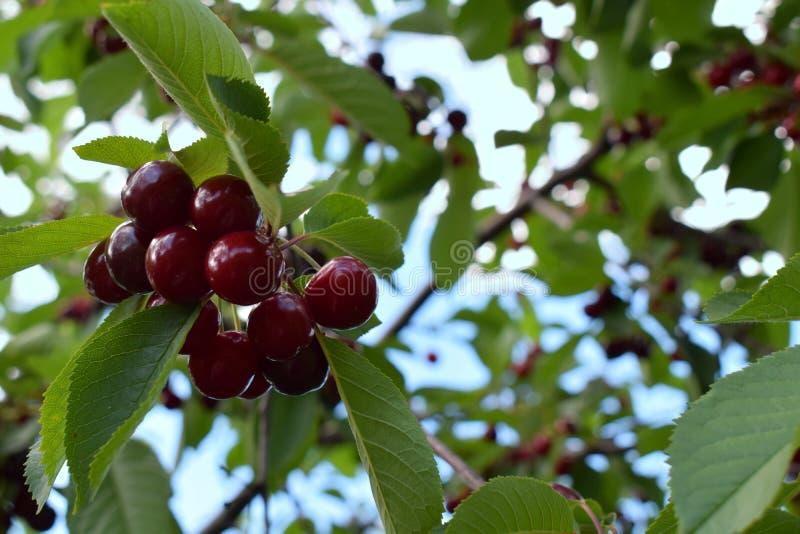 Reife Frucht der Kirsche ist kein Baum lizenzfreies stockfoto