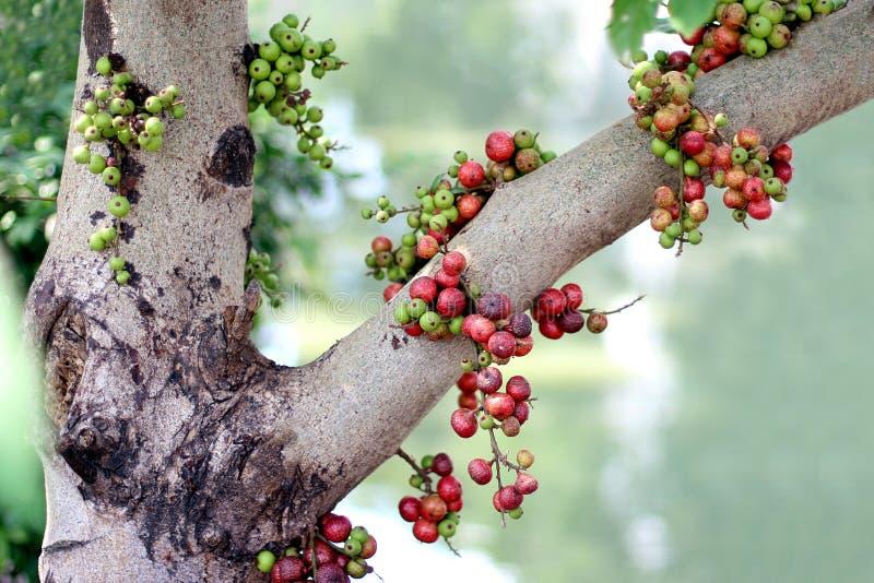 Reife Frucht des Feigenfruchtwaldes, Ficus Racemosa, Feige auf Baumnatur, Feigenrot und grünem thailändischem Asien-Fruchtwald lizenzfreie stockfotos