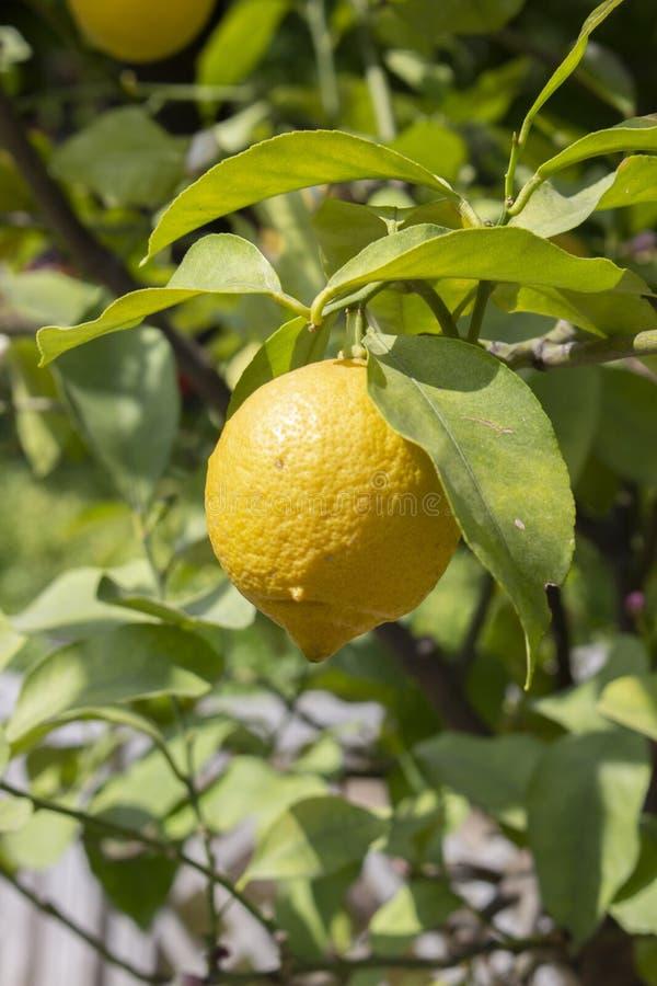 Reife gelbe Zitrone, die an einer Niederlassung h?ngt Saure Zitronenfrucht, die an einem Zitrusfruchtbaumast unter grünen Blätter lizenzfreies stockbild