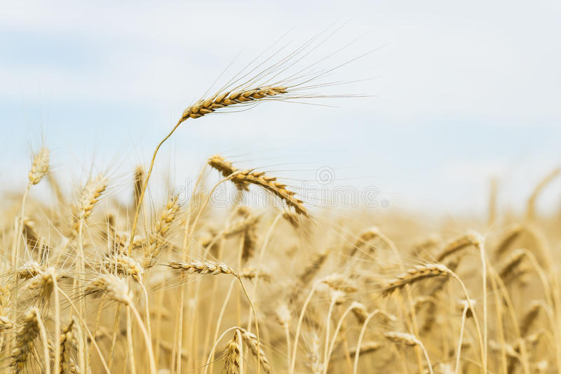 Reife Getreideohrnahaufnahme am heißen Sommernachmittag auf Hintergrund des gelben Feldes und des blauen Himmels stockfotografie
