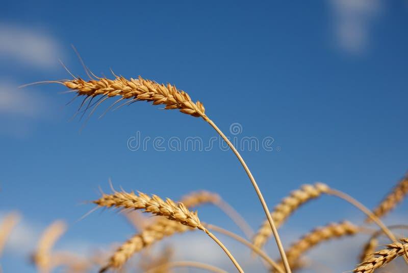 Reife goldene Ohren des Roggens gebeugt unter dem Gewicht der Körner vor dem hintergrund des Blauhimmels lizenzfreie stockfotos