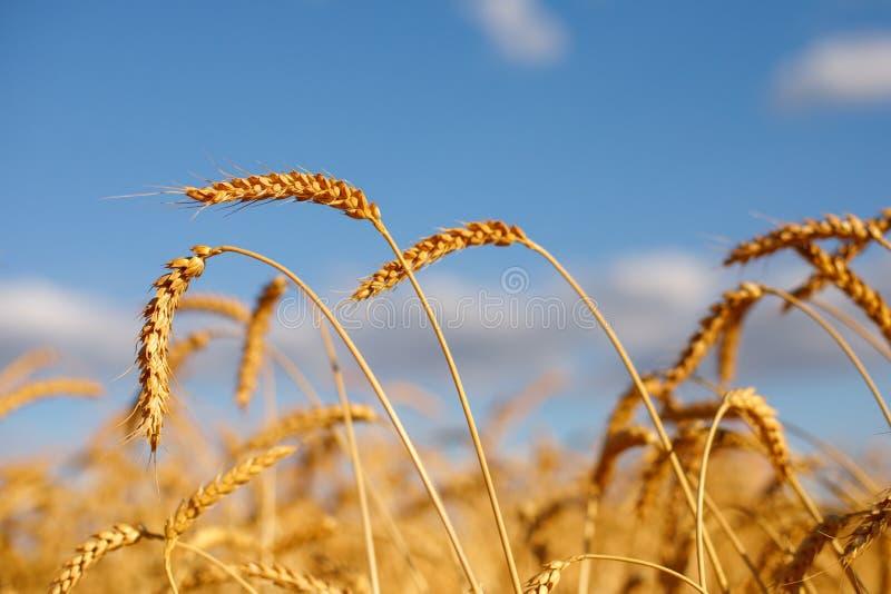 Reife goldene Ohren des Roggens gebeugt unter dem Gewicht der Körner vor dem hintergrund des Blauhimmels stockfoto