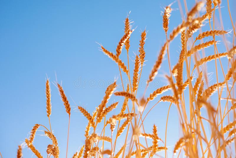 Reife goldene Ohren des Roggens gebeugt unter dem Gewicht der Körner vor dem hintergrund des Blauhimmels stockbild