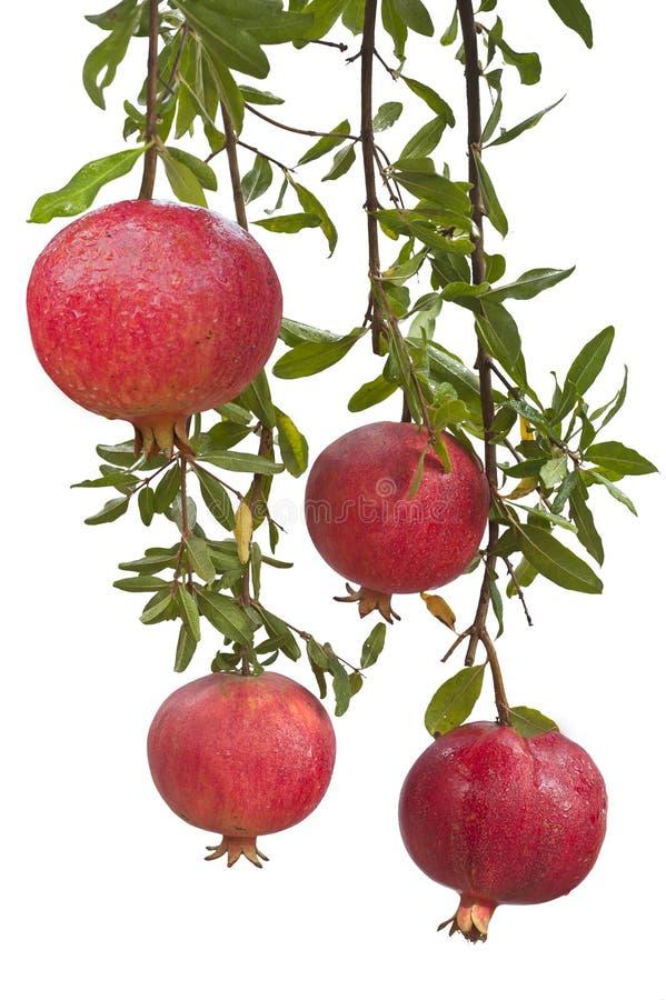 Reife Granatapfelfrucht auf Baumast stockbilder