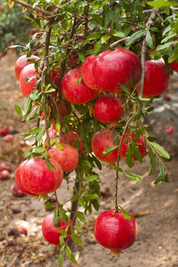 Reife Granatapfelfrucht auf Baumast stockbild