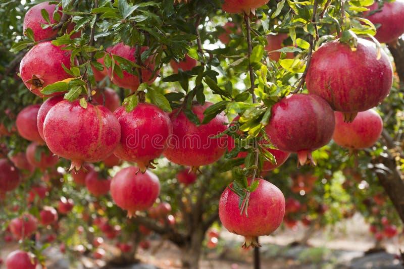 Reife Granatapfelfrucht auf Baumast stockfotos