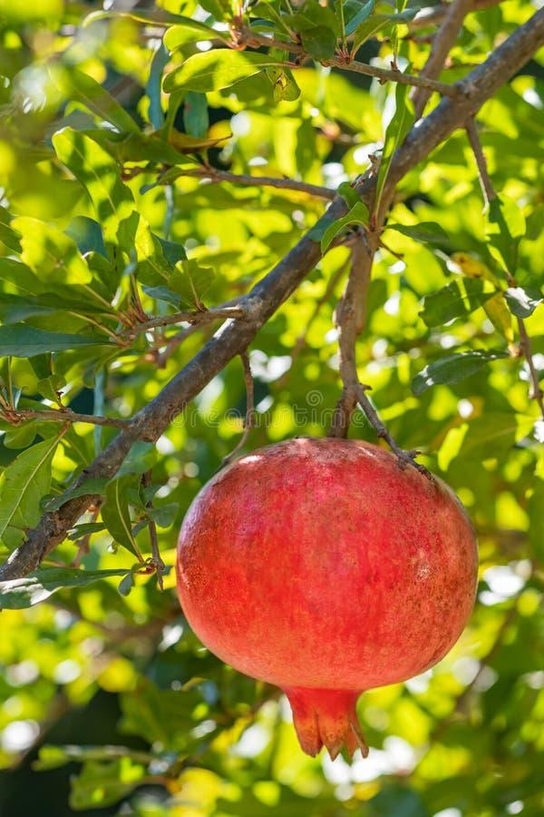 Reife Granatapfelfrucht auf einem Baumast lizenzfreie stockfotografie