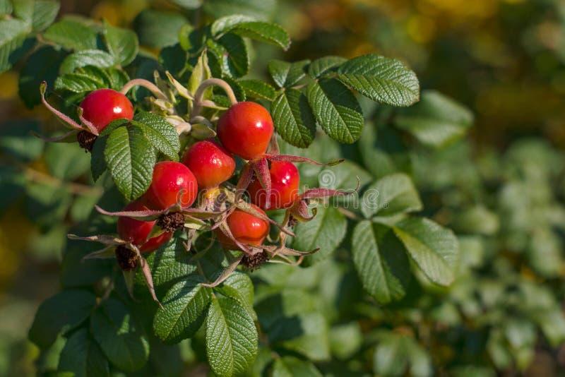 Reife Hagebutte auf einer Niederlassung rote Beeren der Hund-Rose Wilde Rose lizenzfreies stockfoto