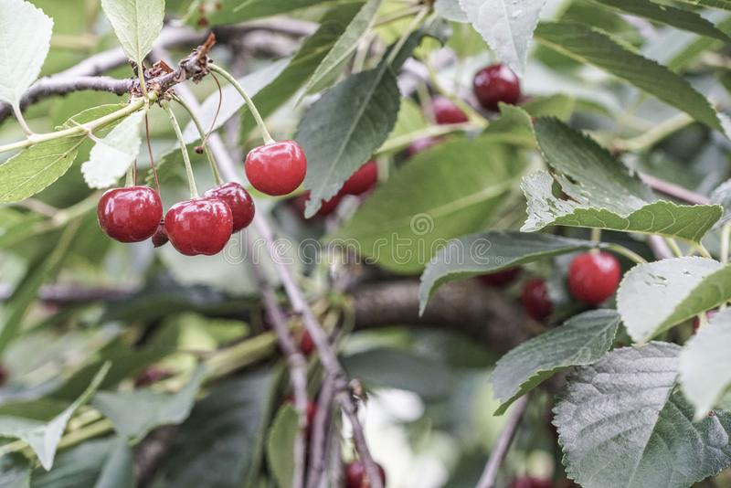 Reife Kirschfrüchte auf einem Baum stockbild