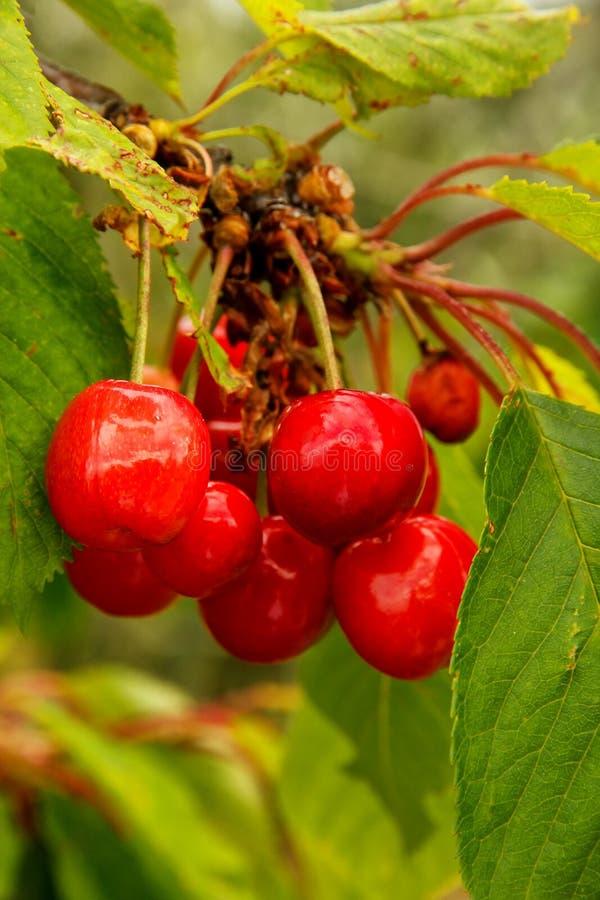 Reife Kirschfrucht auf einem Baum lizenzfreie stockfotografie