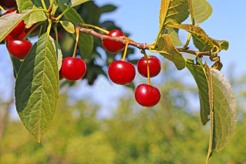 Reife Kirschfrucht auf einem Baum lizenzfreie stockfotos