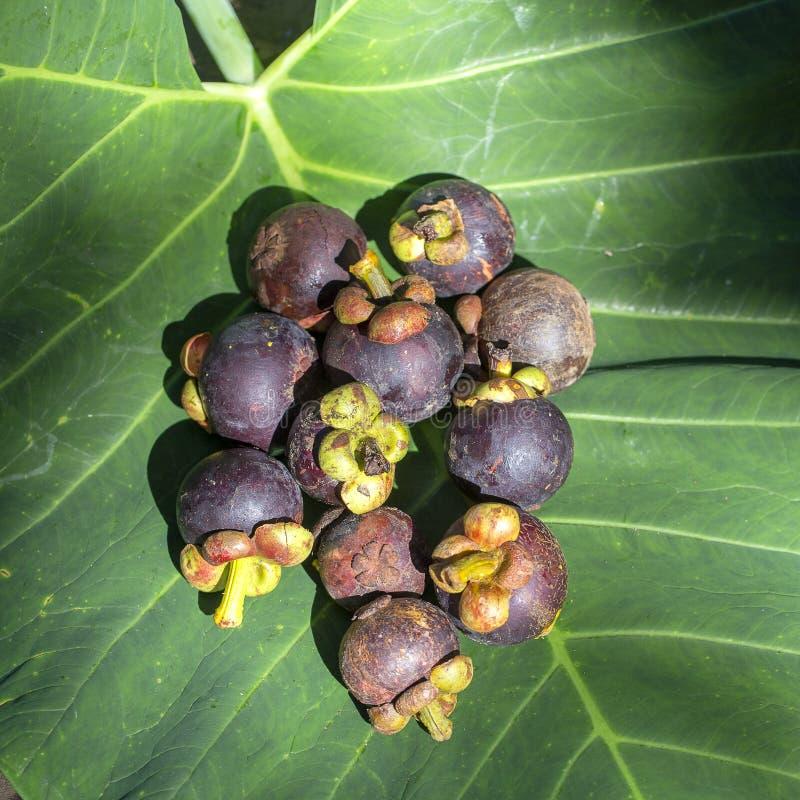 Reife Mangostanfrucht auf einem grünen Blatt unter dem Sonnenlicht in Bali, Indonesien lizenzfreies stockbild