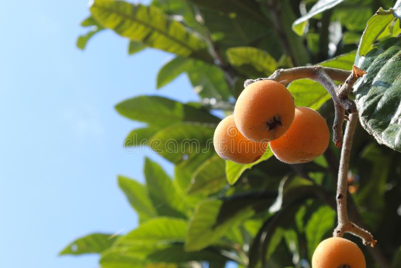 Reife Mispeln auf Baum stockfotos