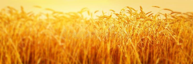 Reife Ohren des Weizens auf dem Gebiet während des Ernteabschlusses oben Landwirtschaftssommerlandschaft Landwirtschaftliche Szen stockfotos