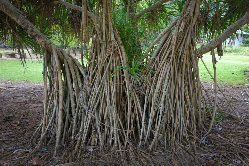 Reife orange frische Samen des Seepandanus- oder -Schraubenpalmebetriebsbaums lizenzfreies stockfoto