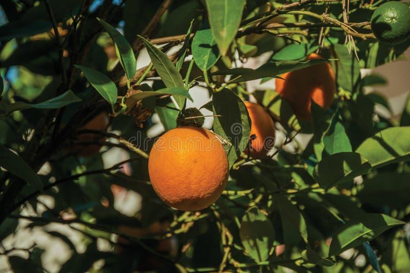 Reife orange Frucht auf Niederlassungsbaum des kleinen Bauernhofes stockbild