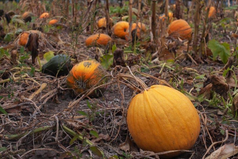 Reife orange K?rbise im Herbstgarten lizenzfreie stockbilder