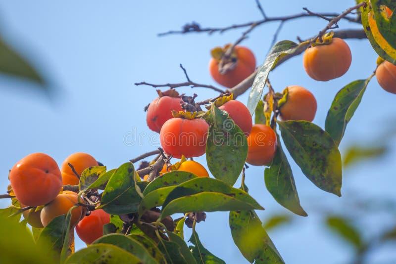 Reife orange Persimonen auf dem Persimonebaum, Frucht stockfotografie