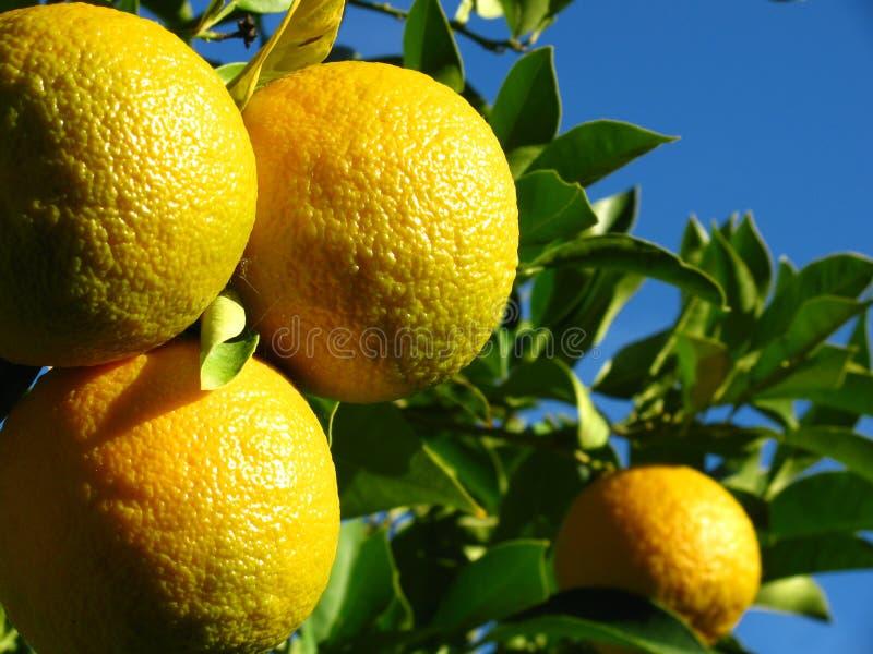 Reife Orangen stockfotos