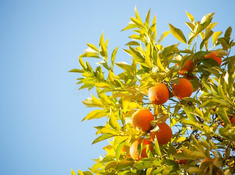 Reife Orangen stockbild