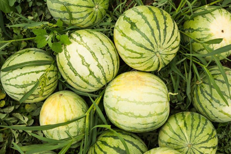 Reife organische Wassermelonen auf dem Feld, Dia lizenzfreie stockfotos