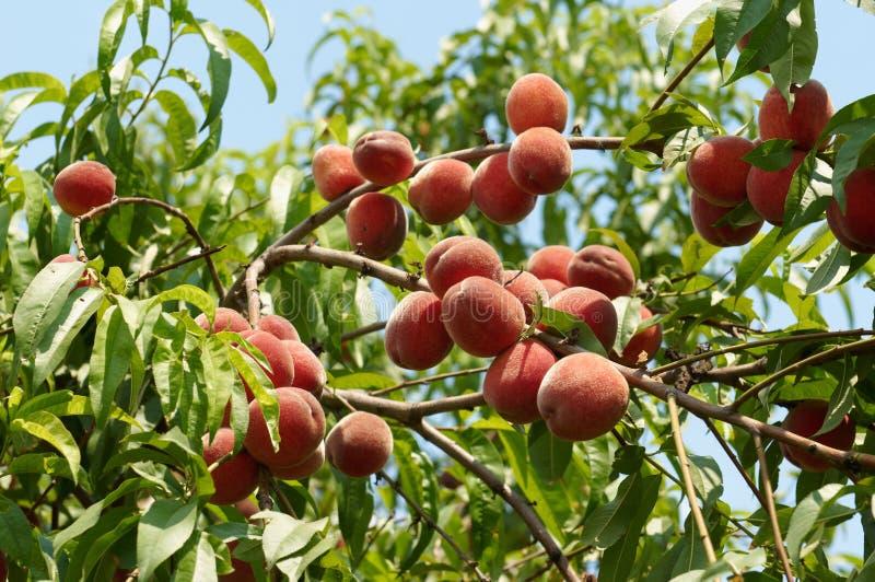 Reife Pfirsiche auf dem Baum stockfoto