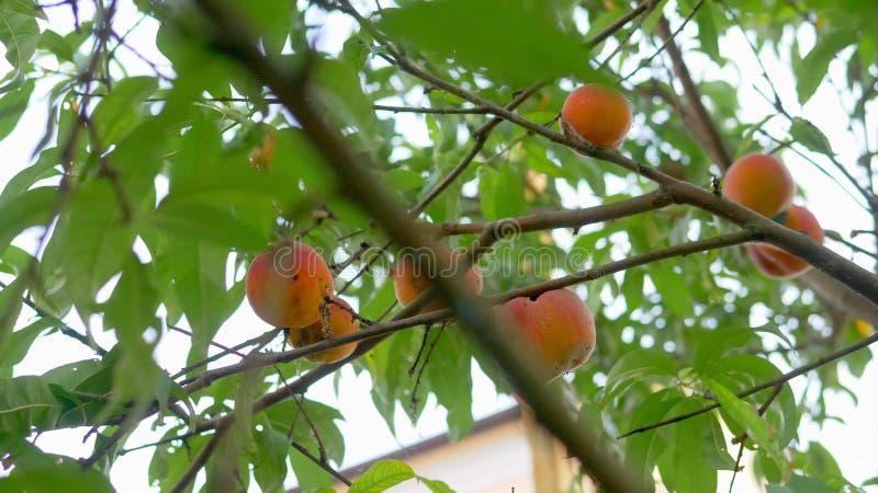 Reife Pfirsiche hängen an einer Niederlassung auf einem Pfirsichbaum Fruchtbauernhof Hintergrund mit reifen Früchten und grünen B stockfoto
