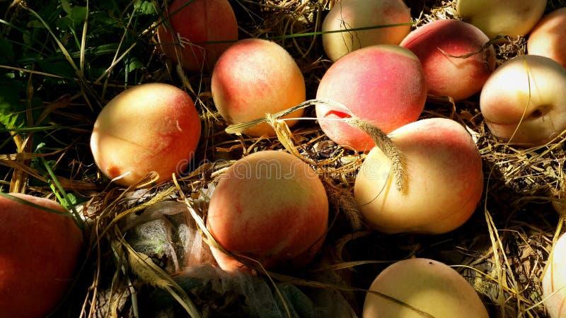 Reife Pfirsichfrucht auf trockenem Gras im Garten Nahaufnahme lizenzfreie stockfotos